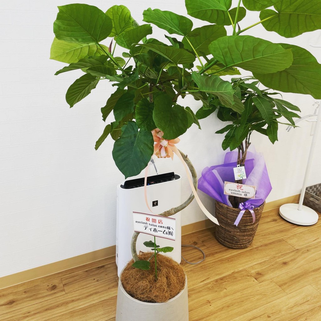ディホームからは 葉が愛情や幸せを表す♡型をしている、 「健やか・永久のしあわせ・夫婦愛」が花言葉のウンベラータの木🌲